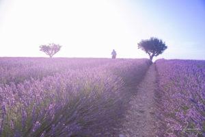 Calin couleur lavande (Valensole - France)