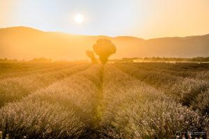 Golden morning (Valensole - France)