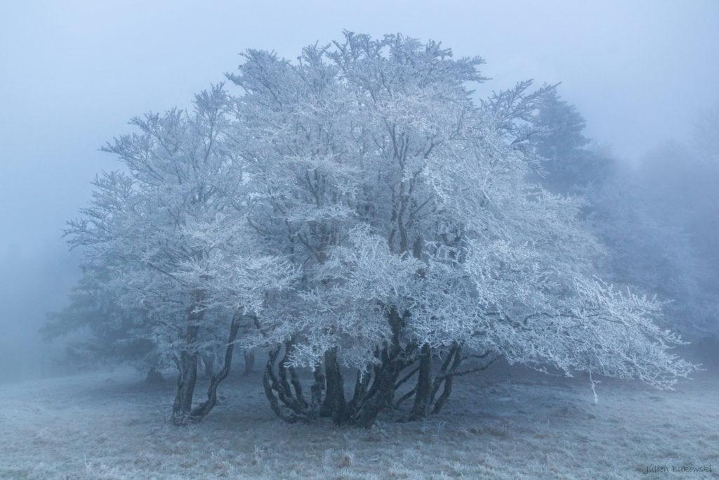 White tree (Suisse)