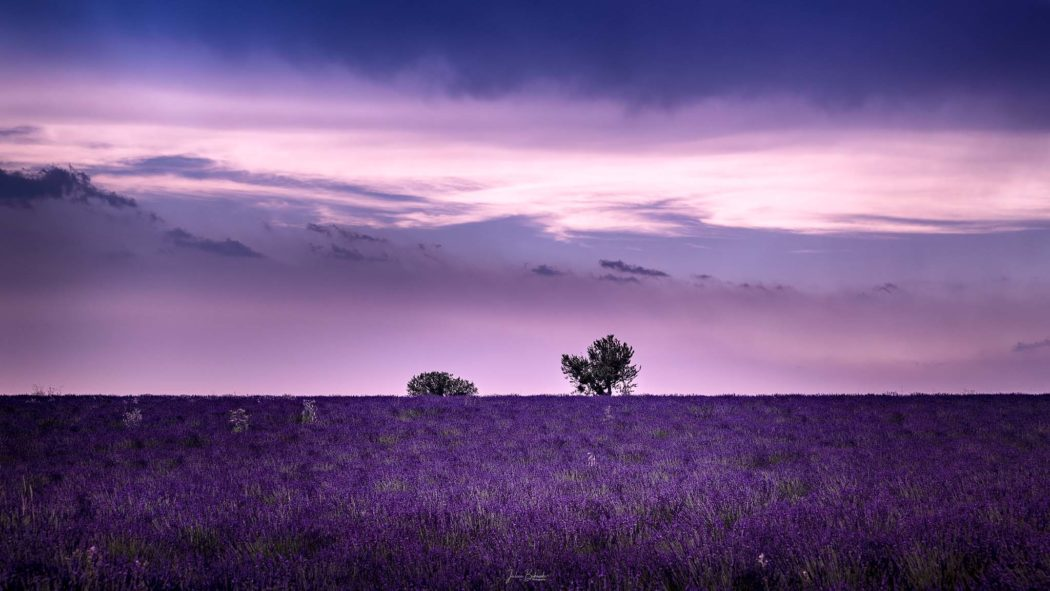 Un rêve rose (Valensole - France)