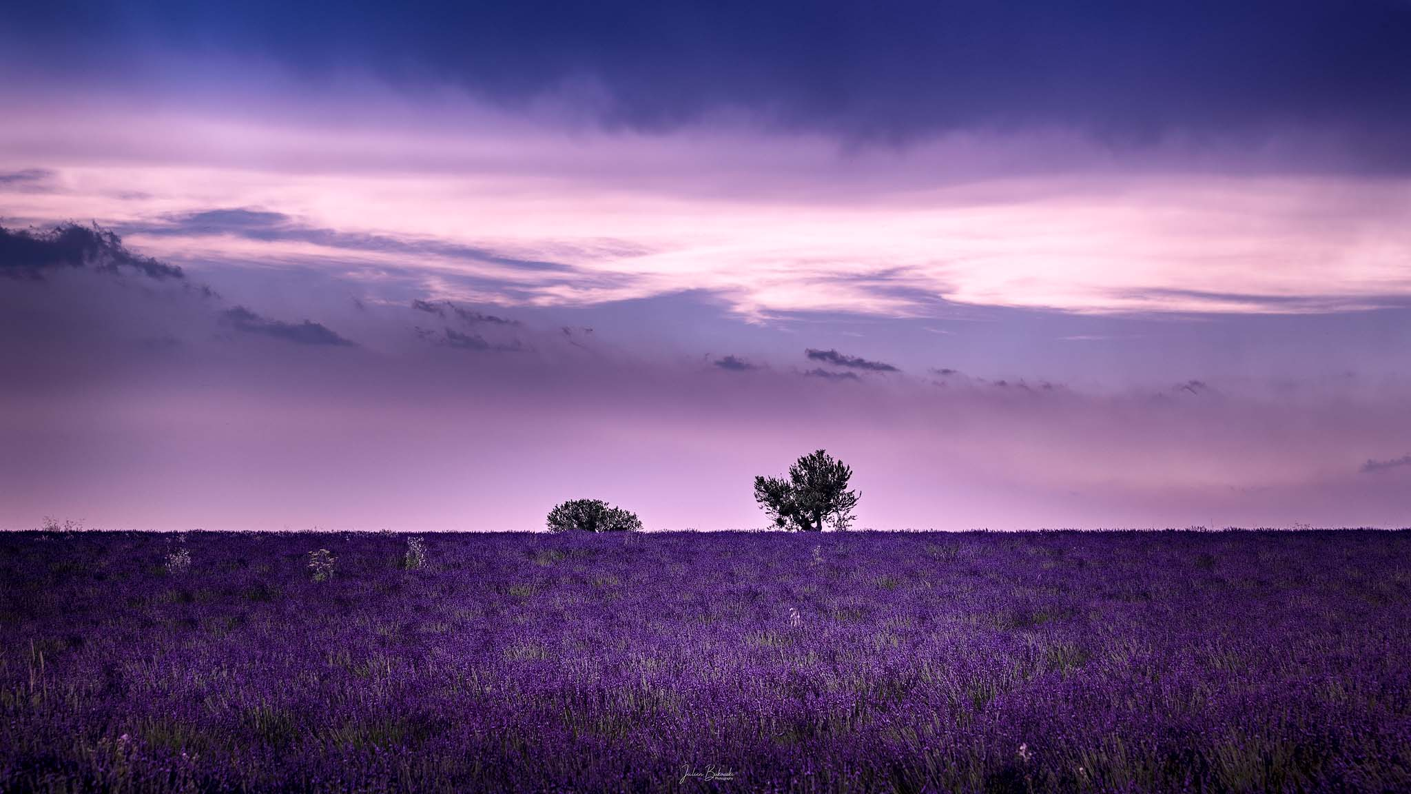 Un rêve rose (Valensole - France)